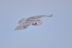 Snowy Owl flying Stock Images