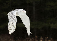 Snowy Owl Flying Stock Photos