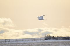 Snowy Owl flying at dusk over prairie fields``` Stock Photography