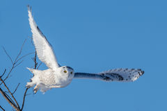Snowy Owl - Flying Stock Image