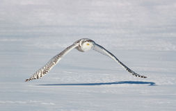 Snowy owl flying in nature Royalty Free Stock Photography