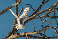 Snowy Owl - Flying Out of Tree stock photography