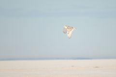 Snowy Owl flying over wintery prairie Stock Photography