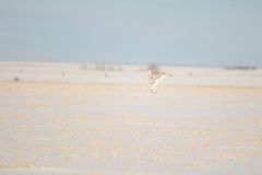 Snowy Owl flying over wintery prairie Royalty Free Stock Photo