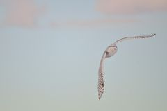 Snowy Owl flying at sunset Royalty Free Stock Photo