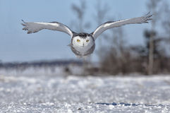 Snowy Owl. Flying toward the camera. Winter in Minnesota royalty free stock images
