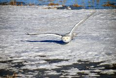 Snowy Owl Gliding Above The Snow. A Snowy Owl has its wings fully extended and glides silently just above the snow focused on its prey. Also known as the Arctic Royalty Free Stock Photos