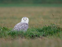 Snowy Owl in the Grass Stock Photography
