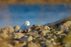 Snowy owl on the ground Stock Photography
