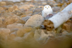 Snowy owl on the ground Stock Images