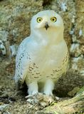 Snowy Owl Harfang Royalty Free Stock Images