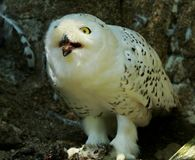 Snowy Owl Harfang Stock Photos