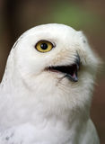 Snowy owl head. Closeup of a snowy owl head royalty free stock photo