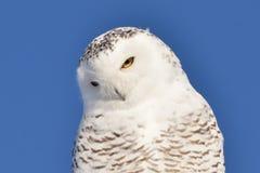 Snowy Owl head tilted closeup Royalty Free Stock Photo