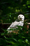 Snowy Owl Stock Images