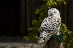 Snowy Owl on his Perch Royalty Free Stock Photography