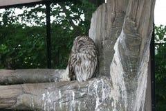 Snowy owl, Ibaraki, Japan Royalty Free Stock Images