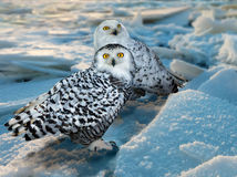 Snowy Owl  at ice area. Snowy Owl (Bubo scandiacus) at ice area Stock Image