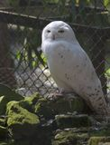 Snowy owl II Royalty Free Stock Image