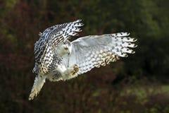 Free Snowy Owl In Flight Royalty Free Stock Image - 162288636