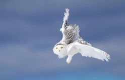 Free Snowy Owl In Flight In Winter Stock Photo - 83190310