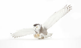 Free Snowy Owl In Flight In Winter Royalty Free Stock Photography - 84059767