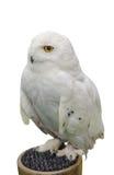 Snowy owl isolate on white background. Stock Photos