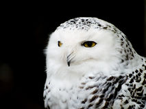 Snowy Owl. Ladner, British Columbia Stock Photography