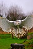 Snowy Owl. Landing during a demonstration exercise Royalty Free Stock Photography