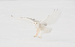 Snowy Owl landing in feild Royalty Free Stock Photography