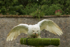 A snowy owl Stock Images