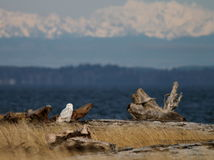 Snowy Owl Landscape Royalty Free Stock Images