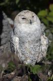 Snowy owl 4 Royalty Free Stock Photo