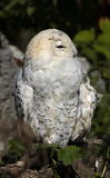 Snowy owl 5 Royalty Free Stock Photography