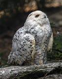 Snowy owl 7 Royalty Free Stock Image