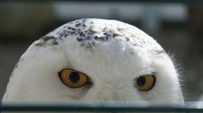 A snowy owl. Looking intense Stock Images