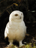 Snowy Owl (male) Stock Photo