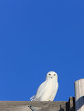 Snowy Owl Male on Pole Winter Canada. White Royalty Free Stock Photo