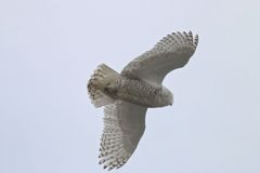 Snowy Owl. Male Snowy Owl seen in at Biddeford Pool, Maine in March.  Biddeford Pool is a popular place for the snowy owls in Maine Stock Image