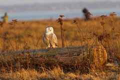 Snowy Owl. At March 2012.  Boundary Bay, Delta, BC, Canada Royalty Free Stock Photo