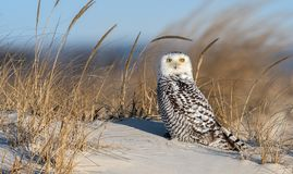 Snowy Owl. A snowy owl in New Jersey royalty free stock photography