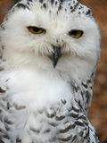 Snowy owl (Nyctea scandiaca) Royalty Free Stock Images