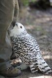 Snowy owl (Nyctea scandiaca) Stock Image