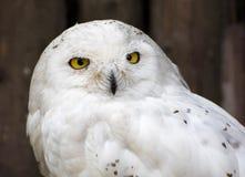 Snowy owl (Nyctea scandiaca) Stock Images