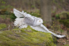 Free Snowy Owl (Nyctea Scandiaca) Flying Royalty Free Stock Image - 24268626
