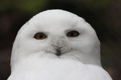 Snowy Owl  Nyctea scandiaca Stock Photos