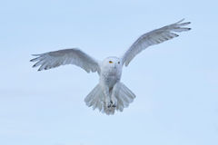 Free Snowy Owl, Nyctea Scandiaca, Rare Bird Flying On The Sky, Winter Action Scene With Open Wings, Greenland Royalty Free Stock Photos - 80548558