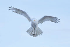 Snowy owl, Nyctea scandiaca, rare bird flying on the sky, winter action scene with open wings, Greenland Stock Images