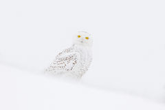 Snowy owl, Nyctea scandiaca, rare bird sitting on the snow, winter scene with snowflakes in wind. Royalty Free Stock Photos