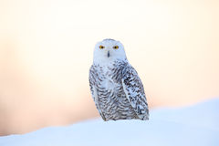 Snowy owl, Nyctea scandiaca, rare bird sitting on the snow, winter scene with snowflakes in wind, early morning scene, before sunr Stock Image